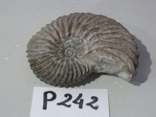 ammonite [640x480]